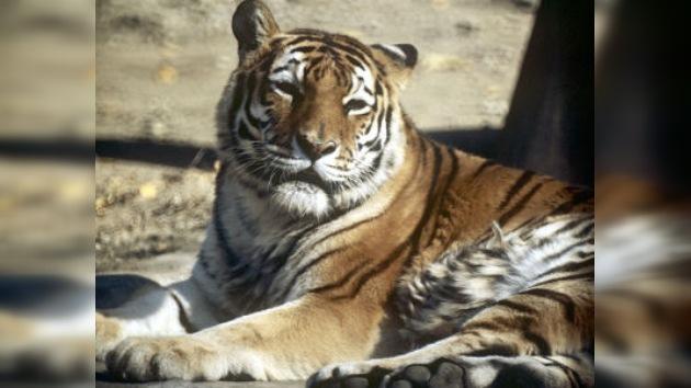 La policía rusa evita un intento de contrabando de huesos de tigre de Amur