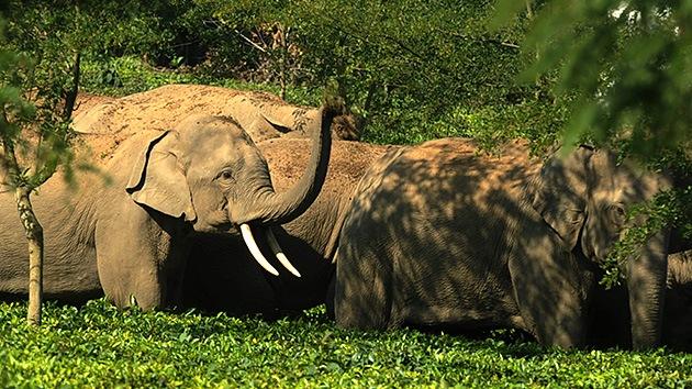 50 elefantes borrachos destruyen un pueblo en la India