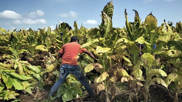 HRW: Tabacaleras de EE.UU. usan mano de obra infantil para trabajos peligrosos