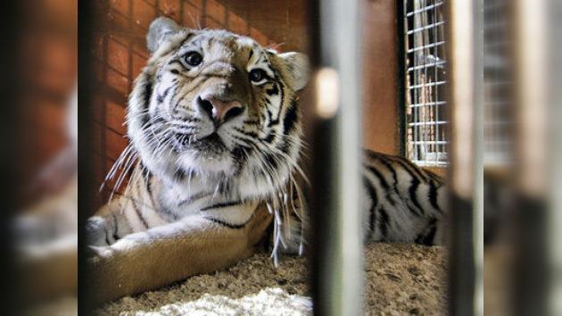 Zhórik, el tigre de Amur, soporta otra complicada operación en la mejilla
