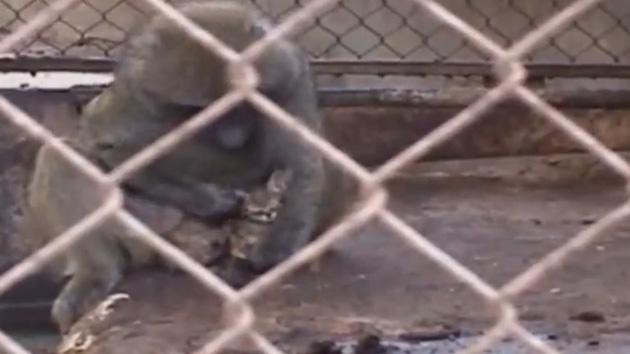 Video: Un primate de un zoo adopta a un gatito