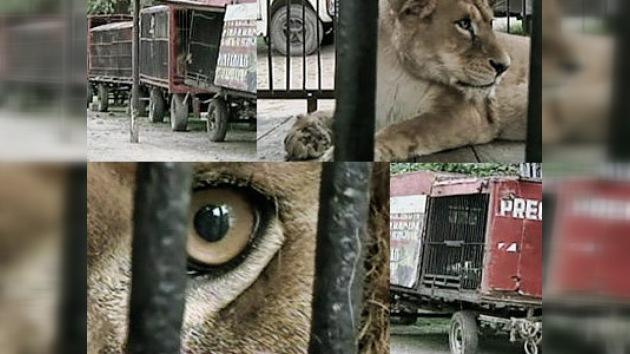Abandonan en una ciudad argentina a 10 leones africanos