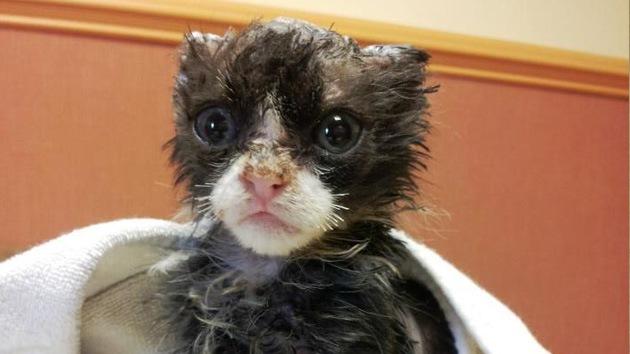 Justin, el gatito de 5 semanas que sobrevivió tras ser quemado vivo