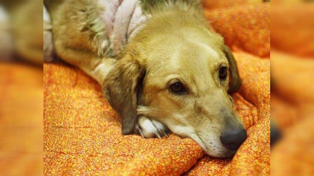 Buscan a los sádicos que cortaron las patas a un perro callejero en Rusia