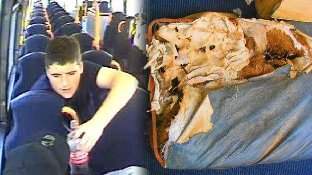 Devoró un asiento de autobús y se fugó: en el Reino Unido buscan a un raro delincuente