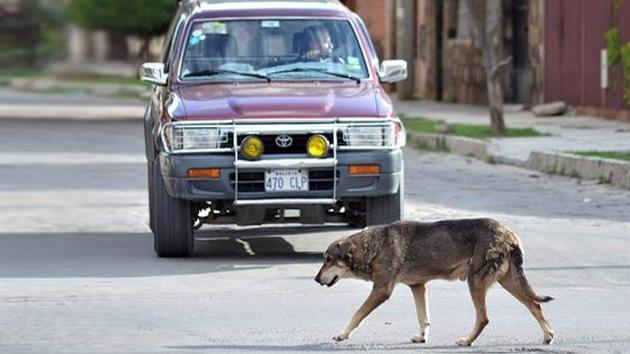 Hachi, el perro boliviano que aún espera a su amo muerto hace cinco años