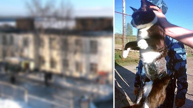 Rusia: 'Detienen' a un gato contrabandista que pretendía ingresar celulares a una cárcel