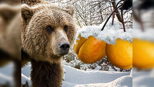 Albaricoques frescos de Siberia para los osos rusos