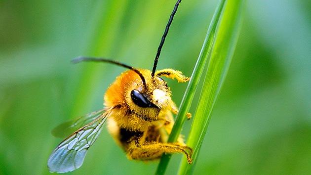 Las abejas caen como moscas: ¿Señal en el aire de una próxima una extinción humana?