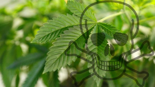 Científicos alemanes aseguran haber detectado dos muertes por marihuana