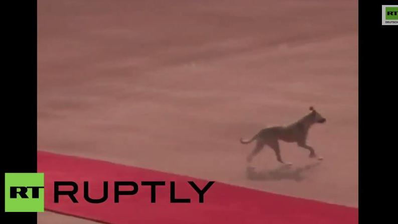 Tierischer Attentäter? Streunender Hund auf Obamas rotem Teppich
