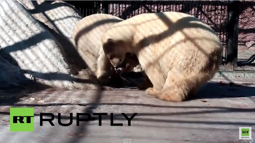 Liebe auf den ersten Blick - Eisbär trifft zum ersten Mal einen Eisbären