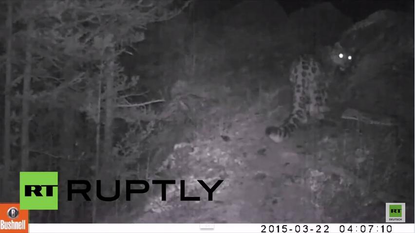 Russland: Sie leben doch noch hier - Kamera fängt stark gefährdeten Schneeleoparden ein
