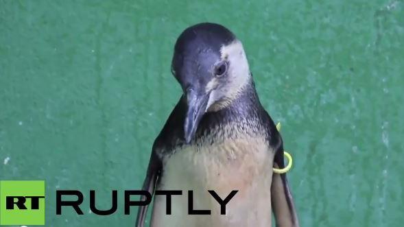 Brasilien: Immer mehr Pinguine stranden und verenden an der Küste - Ursache unklar