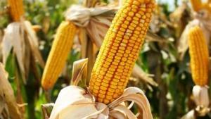 Monsanto-Lobby erfolgreich: USA üben Druck auf Costa Rica aus wegen Moratorium für Gen-Nahrung