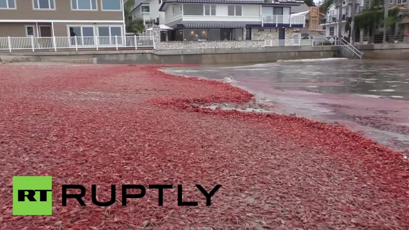 Massives Krabbensterben färbt Kaliforniens Küsten rot