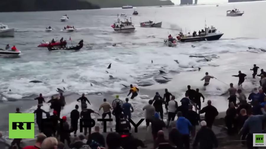 Dänemark: Aktivisten filmen Massen-Wal-Schlachtung auf den Färöer-Inseln