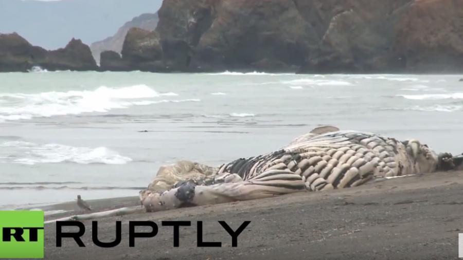 Kalifornien: Bereits der dritte Wal-Kadaver an Kaliforniens Küste angespült