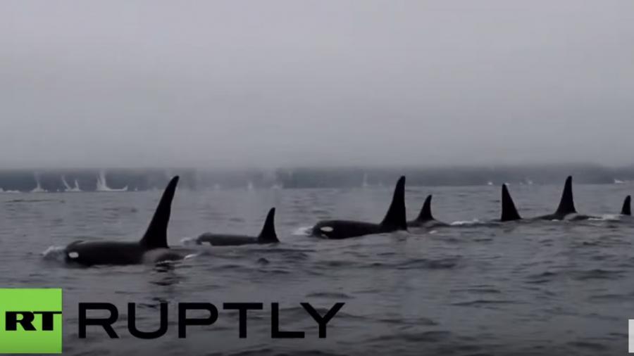 Russland: Beeindruckende Aufnahmen einer Orca-Gruppe vor der Küste Kamtschatkas