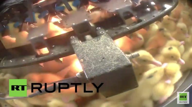 Frankreich: Aktivisten decken Massentötung von Küken in einer Stopfleber-Fabrik auf