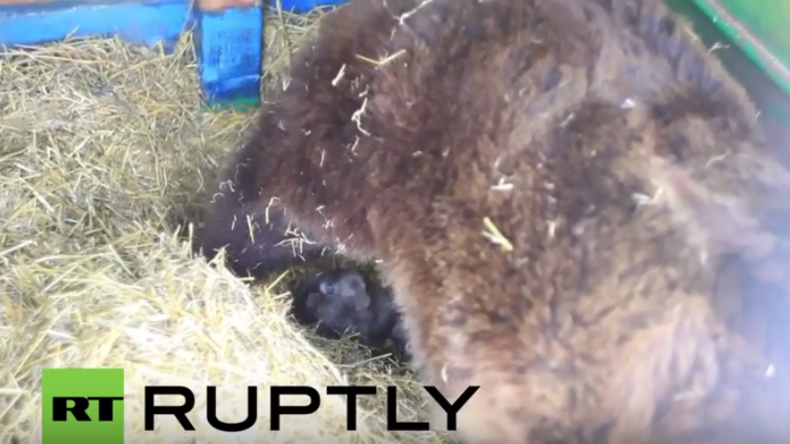 Russland: Braunbärin gebärt fünf Junge mit einem Wurf