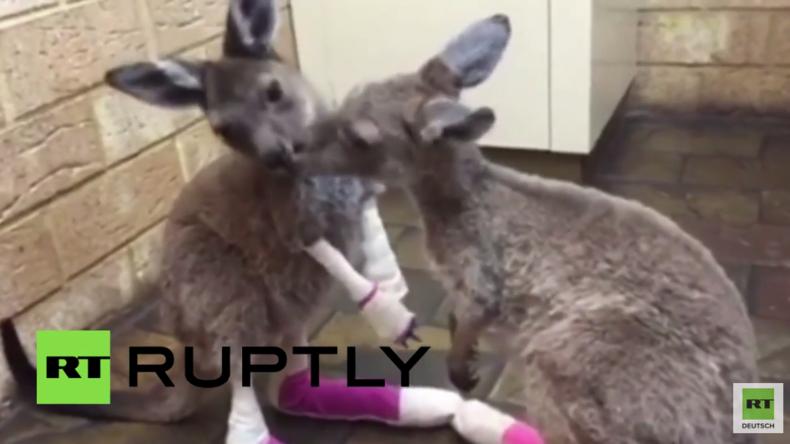 Baby-Kängurus mit starken Verbrennungen aus Buschfeuer in Australien gerettet