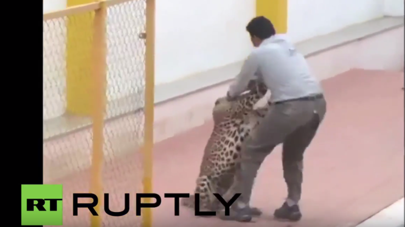 Indien: Leopard verirrt sich in Schule und verletzt sechs Menschen