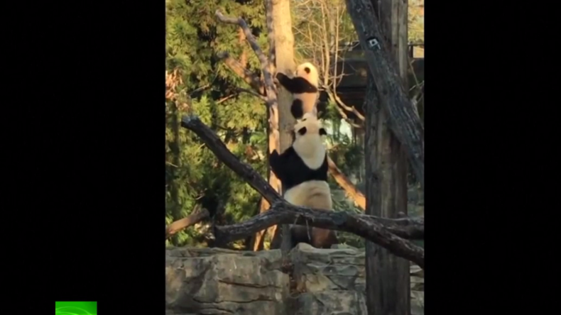 Herzerwärmend: Panda-Bärin bringt ihrem Jungen das Klettern bei