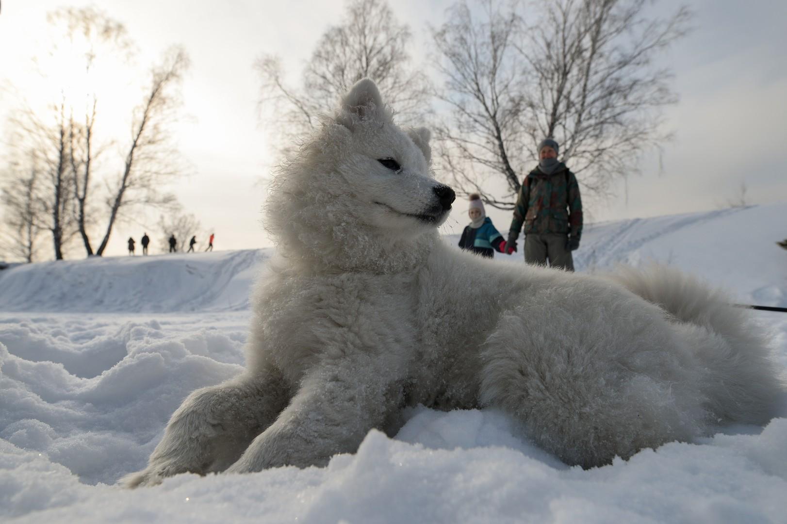 Bilderstrecke: Husky-Schlittenhund-Festival in Nowosibirsk