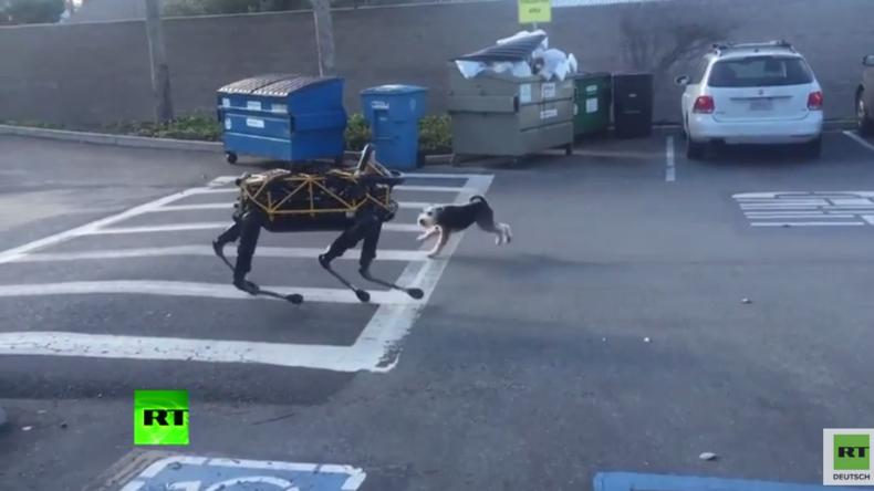 Da kann der Eine den Anderen wohl nicht gut riechen - Echter Hund trifft auf Roboter-Hund von Google