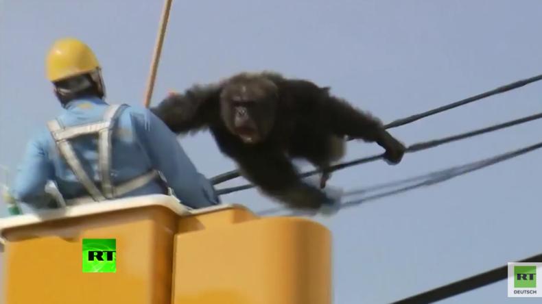 Ein Tag in Freiheit – Schimpanse flieht aus dem Zoo und denkt gar nicht daran wieder zurückzugehen