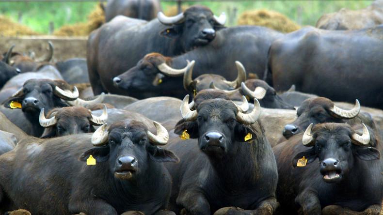 """""""300 Millionen Euro Investition"""" - Italienische Mozzarella-Büffel durchbrechen die Krim-Blockade"""