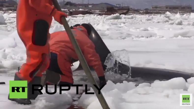 Russland: Zwischen den Eisschollen gefangen – Russisches Team rettet Orcas vor dem Tod