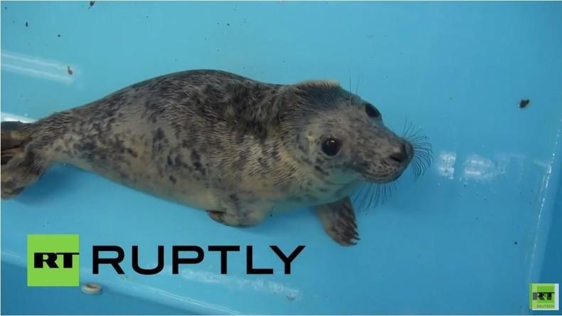 Robbenbabies in Leningrad Region gerettet