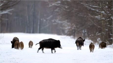 Symbolbild - Verstrahlte Wildschweine in der 30-km Sperrzone rund um Tschernobyl im Februar 2011.