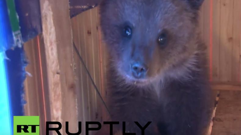 Russland: Helden des Alltags - Familie rettet verwaistes Bärenkind vorm Hungertod