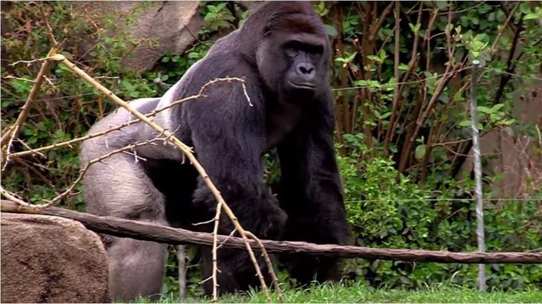 USA: Cincinnati Zoo tötet Gorilla, nachdem Kleinkind in Gehege fiel