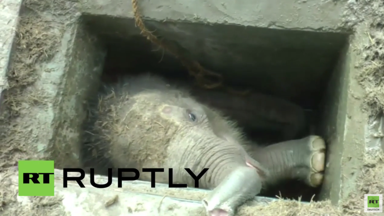 Sri Lanka: Tierretter zerren völlig erschöpften Babyelefanten aus Abflussschacht in Hambantota