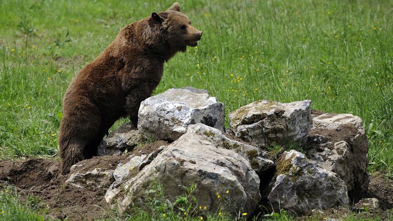 Tierische Sabotage von Militär-Manöver: 3.000 finnische Elite-Soldaten flüchten vor Jungbären