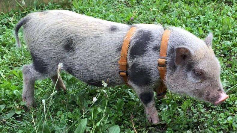 Findet Rudi: Polizei auf der Suche nach geklautem Minischwein