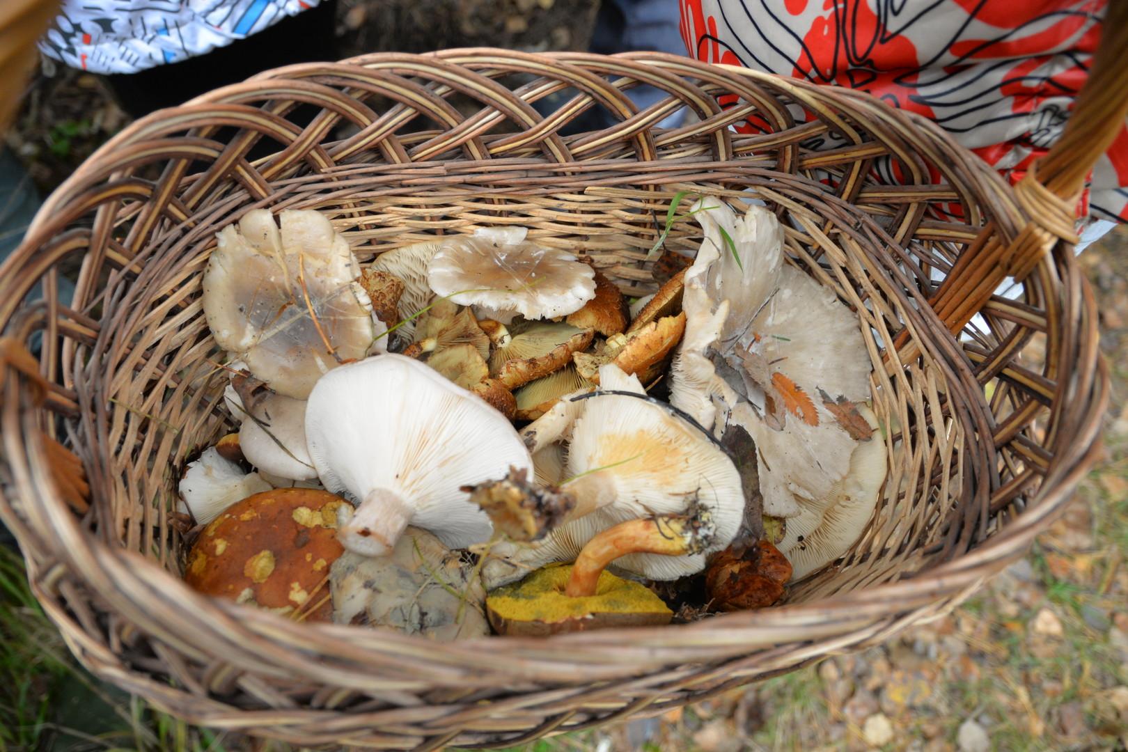 Russischer Herbst: Endspurt beim Pilze-Sammeln in Russland