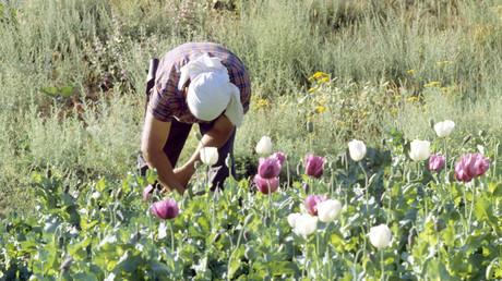 Afghanistan: Anbauflächen für Schlafmohn nehmen um 10 Prozent zu