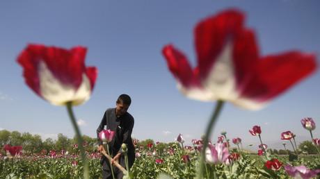 Einträgliche Arbeit: Ein Opiumbauer in Afghanistan kümmert sich um sein Feld.