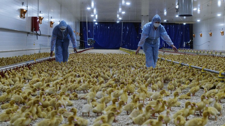 Holland muss wegen Vogelgrippe rund 200.000 Enten notschlachten
