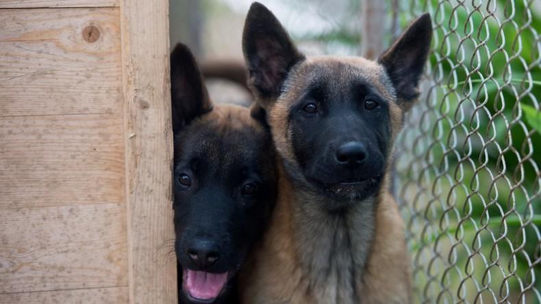 Südkorea schenkt Russland drei geklonte Hunde für Flughafendienst