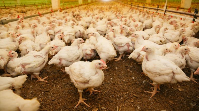 Höchste Alarmstufe in Südkorea wegen Vogelgrippe