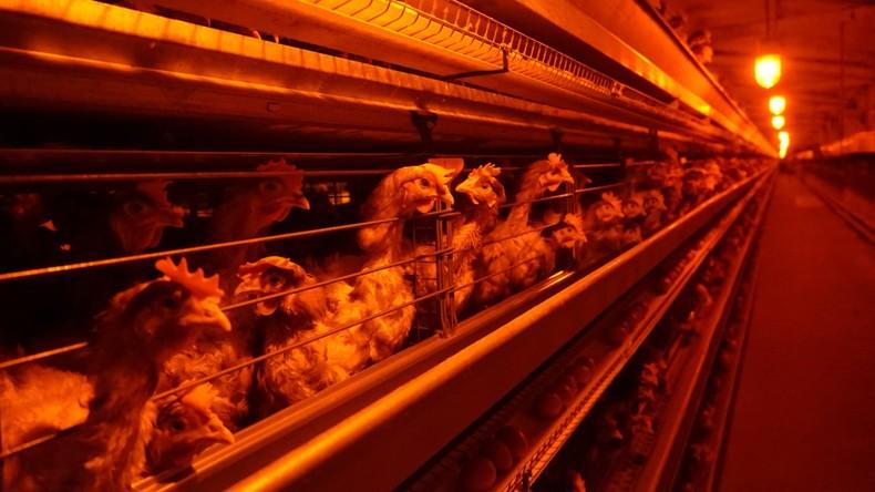Russische Geflügelfarm muss 160.000 Tiere wegen Vogelgrippe notschlachten