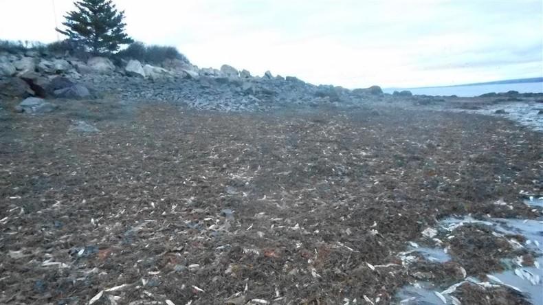 Forscher rätseln über Meerestier-Massensterben in Kanada