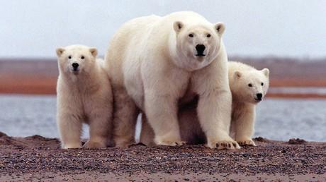 Wo bleibt das Eis? Eisbären an der Beaufort Sea im Arctic National Wildlife Refuge, Alaska, März  2007.