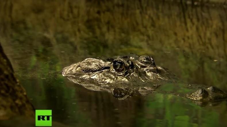 """Der letzte deutsche Kriegsgefangene: Alligator """"Saturn"""" im Moskauer Zoo"""